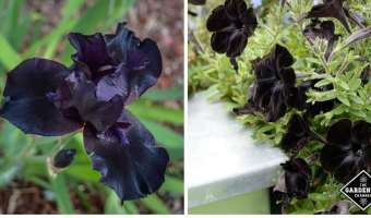 black flowers for the home garden