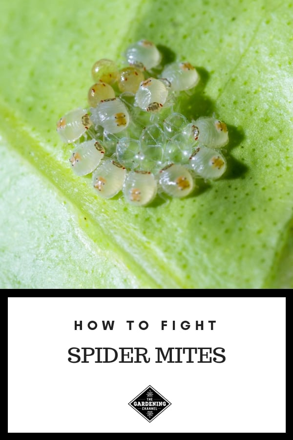 spider mite larva with text overlay how to fight spider mites