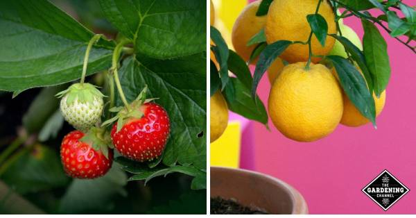 growing fruit in containers