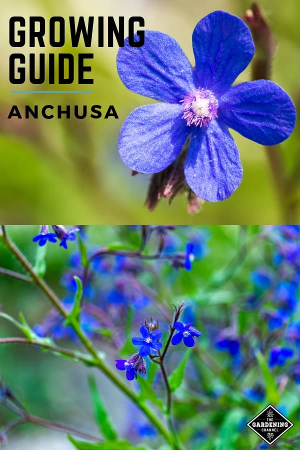 anchusa bloom and dropmore flowers with text overlay growing guide anchusa