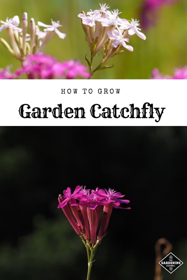 garden catchfly flowers with text overlay how to grow garden catchfly
