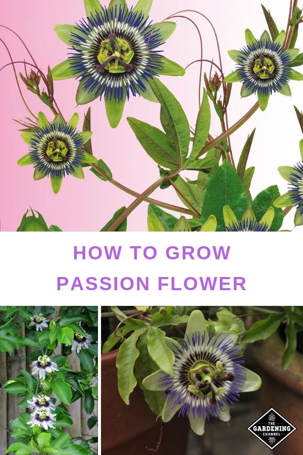 How To Grow Passionflower Gardening Channel