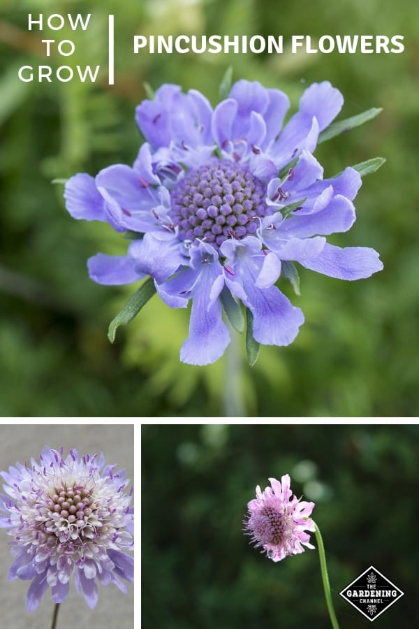 blue and purple pincushion flowers with text overlay how to grow pincushion flowers