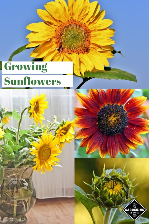 yellow red sunflowers cut sunflowers with text overlay growing sunflowers