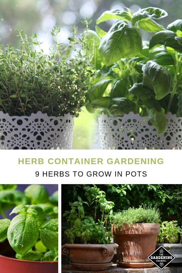 basil thyme oregano in containers with text overlay herb container gardening nine herbs to grow in pots