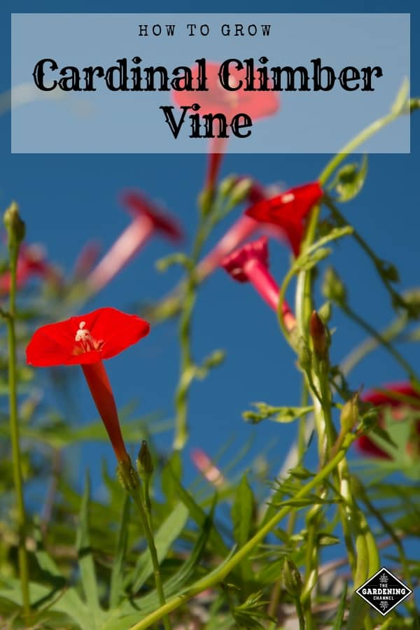 cardinal climber with text overlay how to grow cardinal climber vine
