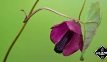 growing purple bell vine