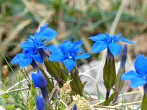 blue spring gentian