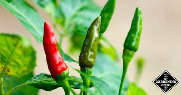 growing tabasco peppers