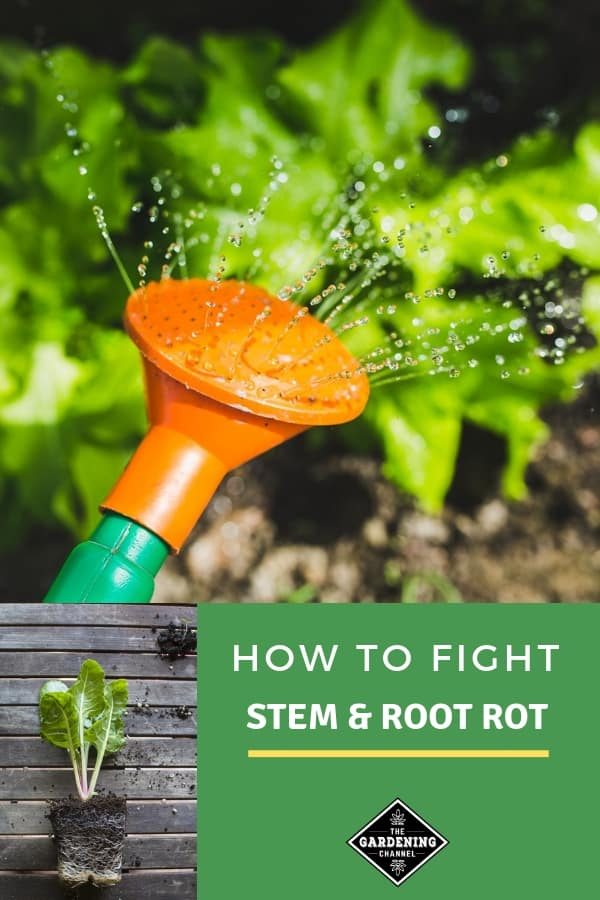 watering garden and plant roots with text overlay how to fight stem and root rot