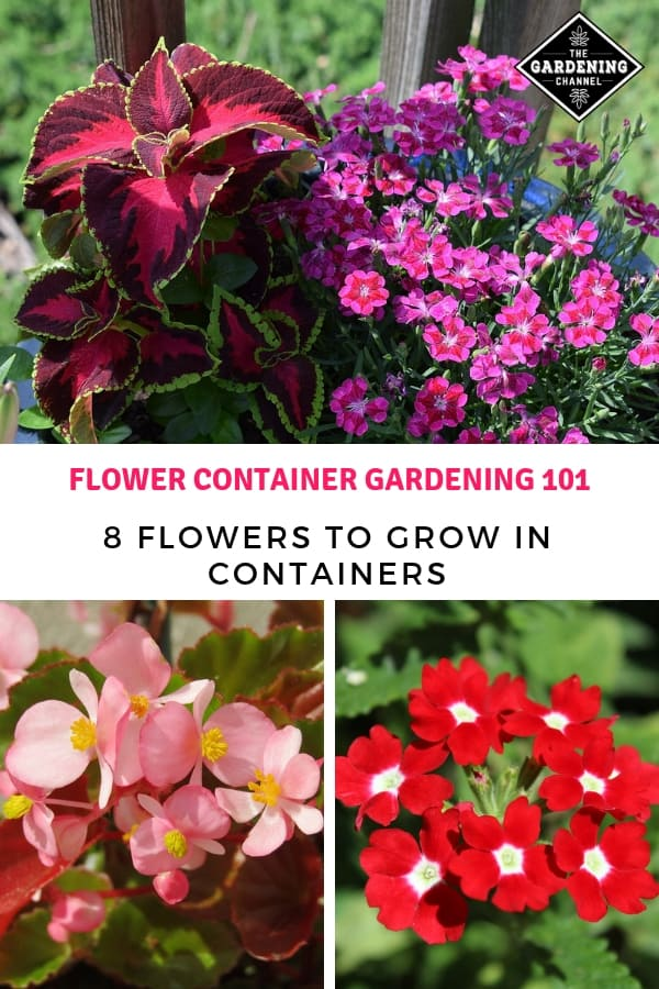 begonias verbena coleus in pots with text overlay flower container gardening 101 eight flowers to grow in containers
