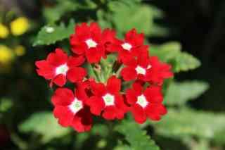 growing verbena