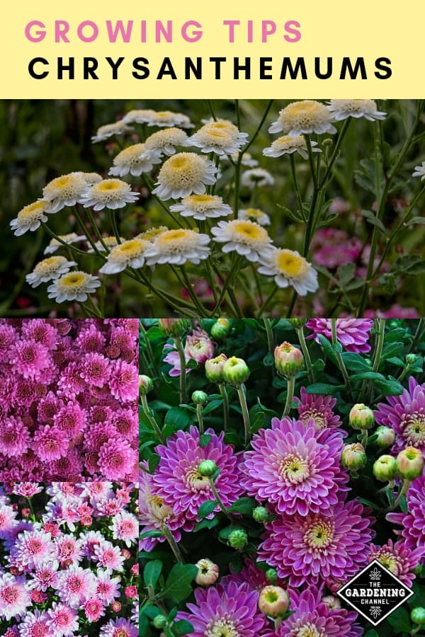 pink and white mums with text overlay growing tips chrysanthemums