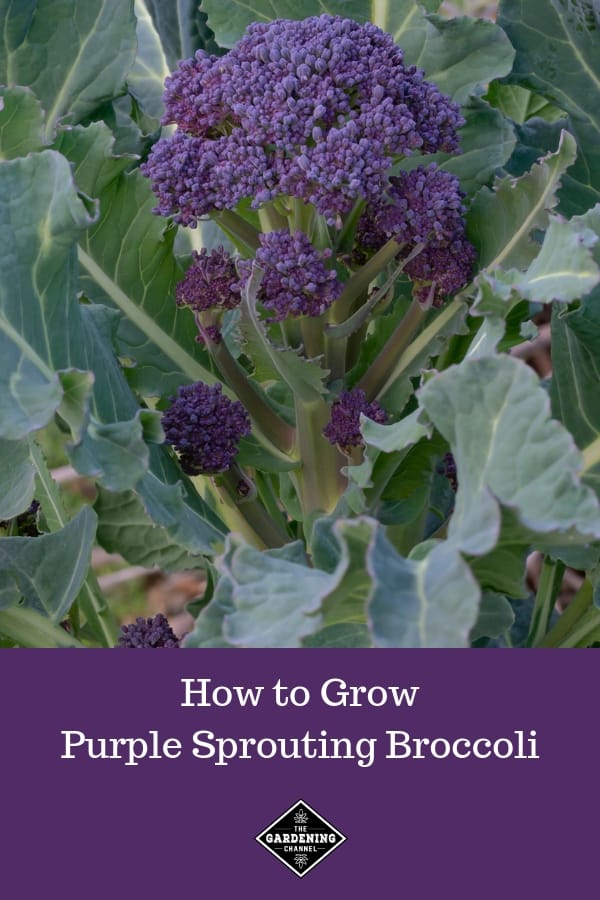 purple garden broccoli with text overlay how to grow purple sprouting broccoli