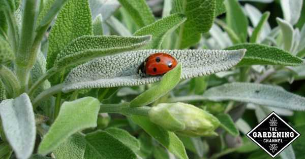 ladybug beneficial insect