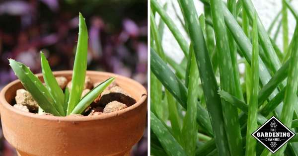how to propagate aloe vera