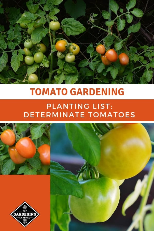 roma and container tomatoes with text overlay tomato gardening planting list determinate tomatoes