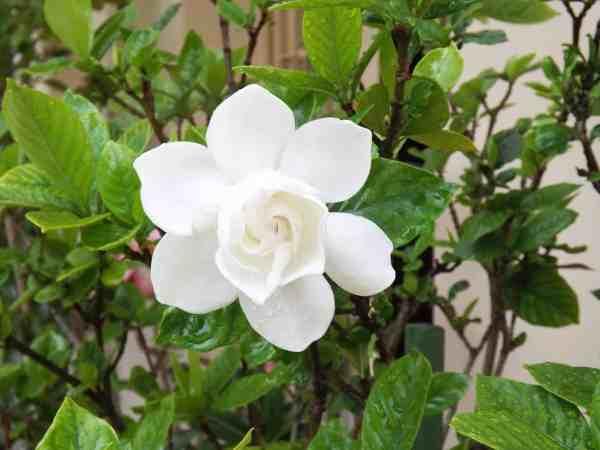 gardenia fragrant flowers