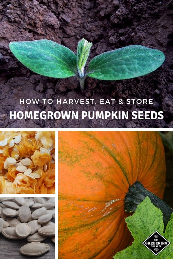 pumpkin seedling pumpkin seeds with text overlay how to harvest eat and store homegrown pumpkin seeds