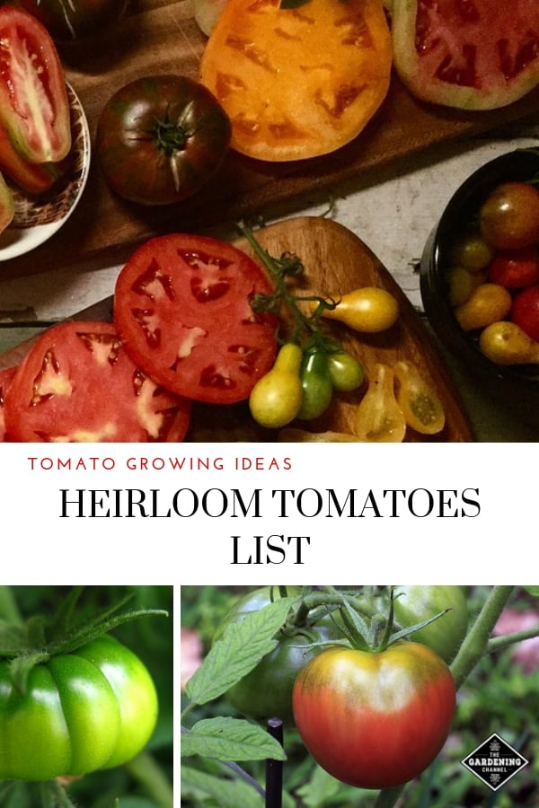 sliced heirloom tomatoes in kitchen and growing in garden with text overlay tomato growing ideas heirloom tomatoes list