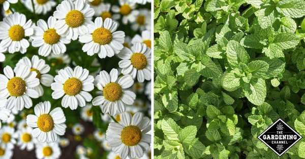 herbs in shakespeare