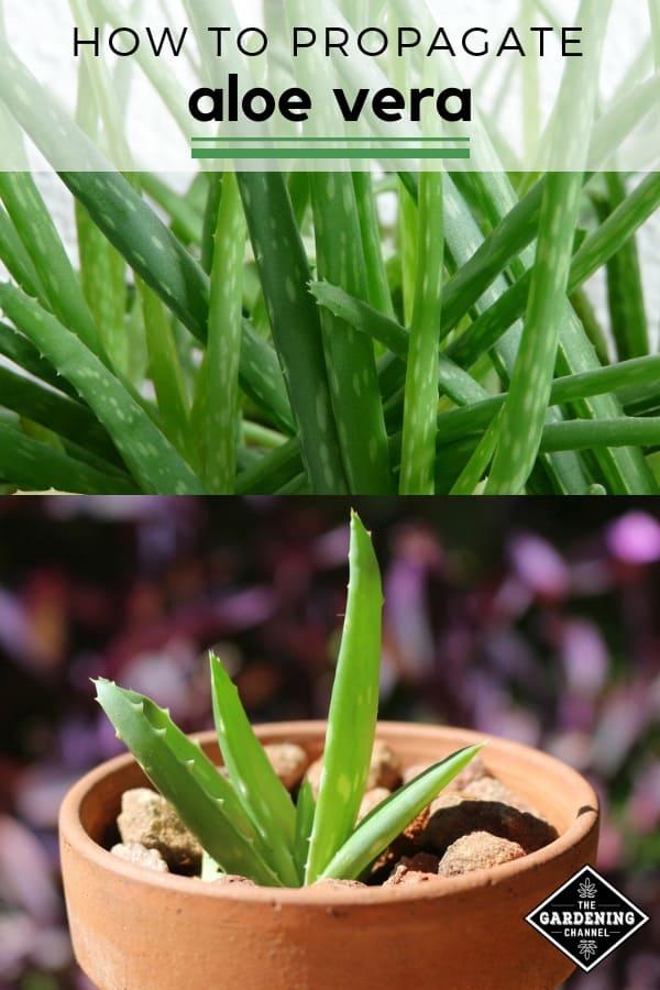 aloe vera plants and pups with text overlay how to propagate aloe vera