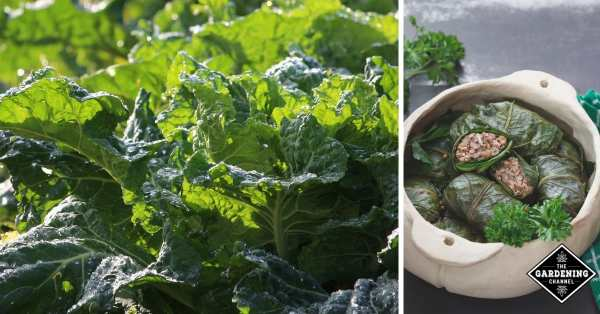 cooking with collards from the garden