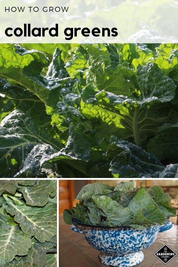collards in garden harvested collards with text overlay how to grow collard greens