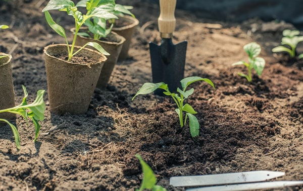 Harden Off Seedlings Before Moving Outdoors