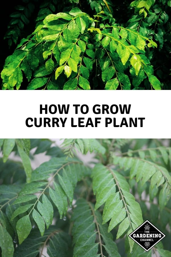 curry leaf plants with text overlay how to grow curry leaf plant