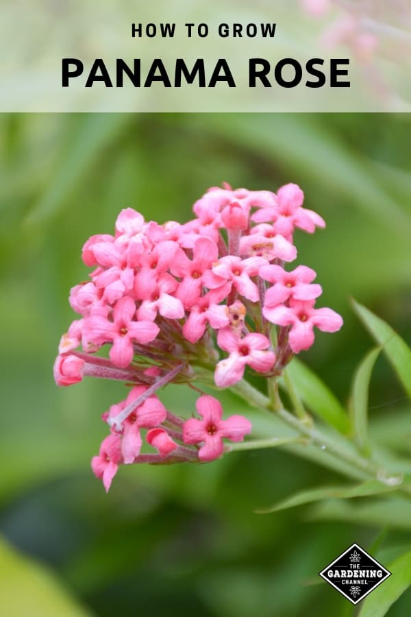 close up of pink bush penta with text overlay how to grow panama rose