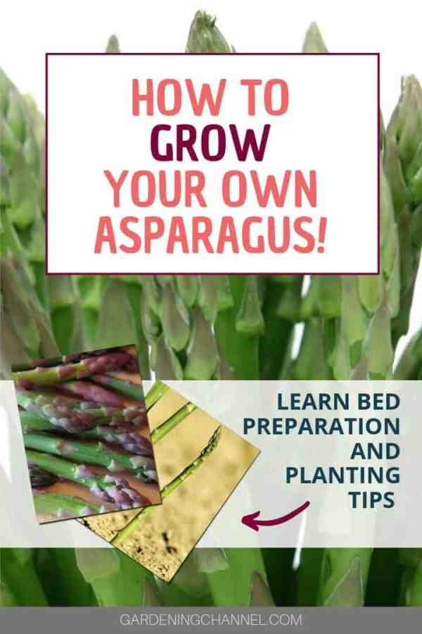 asparagus growing and harvested with text overlay how to grow your own asparagus learn bed preparation and planting tips