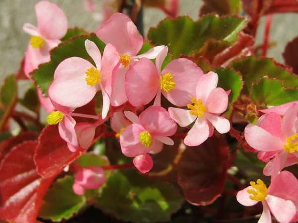 growing begonia flowers