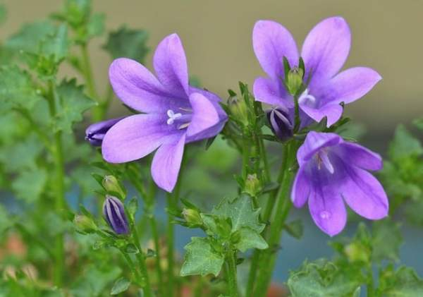 growing bellflowers