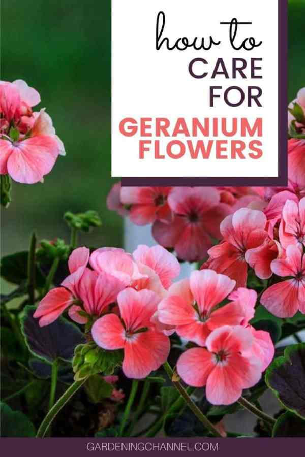 geraniums in container with text overlay how to care for geraniums