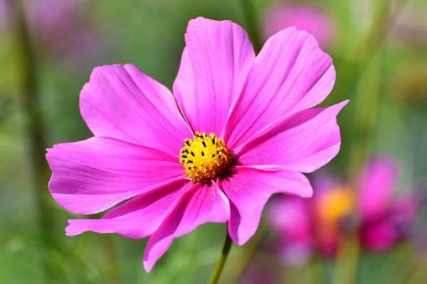 growing guide to cosmos