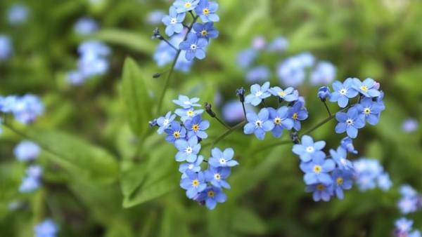 growing forget-me-not