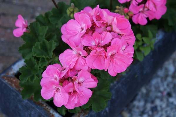 caring for geraniums