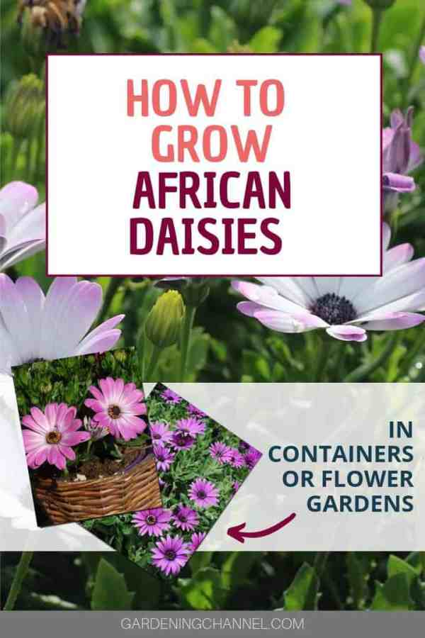 african daisies in garden and pot with text overlay how to grow african daisies in containers or flower gardens
