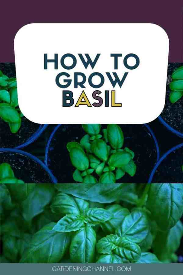 basil seedlings and basil in garden with text overlay how to grow basil