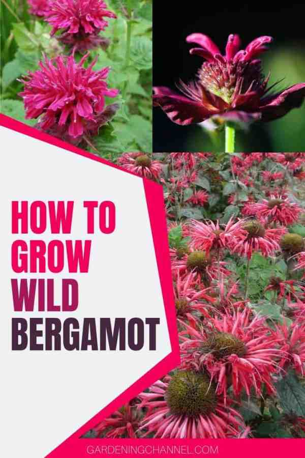 bee balm with text overlay how to grow wild bergamot