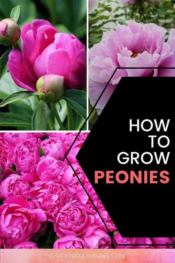 peony blooms in garden with text overlay how to grow peonies