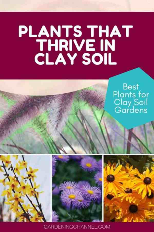 fountain grass black-eyed susans asters spirea with text overlay plants that thrive in clay soil best plants for clay soil gardens