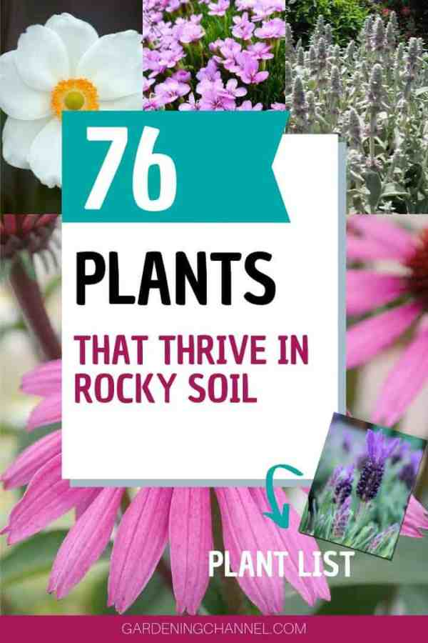 anemone catchfly lambs ear lavender coneflower with text overlay seventy six plants that thrive in rocky soil