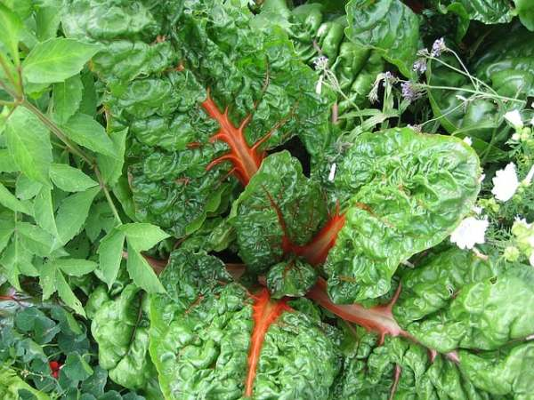 swiss chard is a vegetable you can grow in the fall
