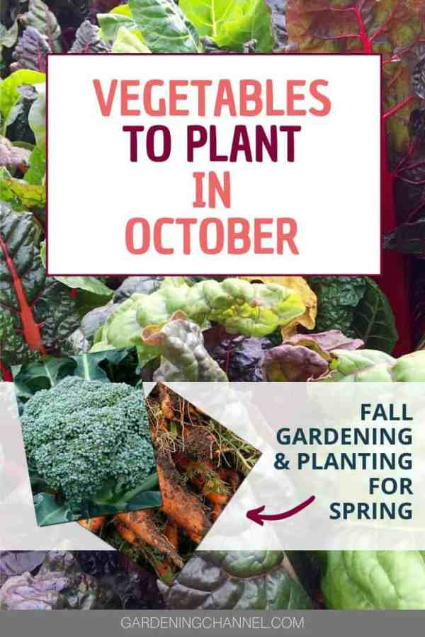 swiss chard broccoli carrots with text overlay vegetables to plant in october fall gardening and planting for spring
