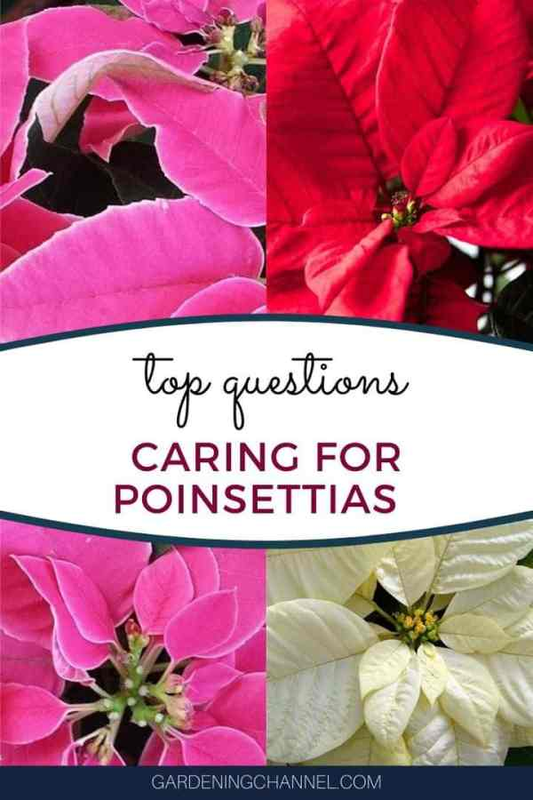 pink red white poinsettias with text overlay top questions caring for poinsettias