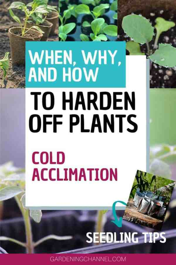 seedlings in sun and shade with text overlay when why and how to harden off plants cold acclimation seedling tips