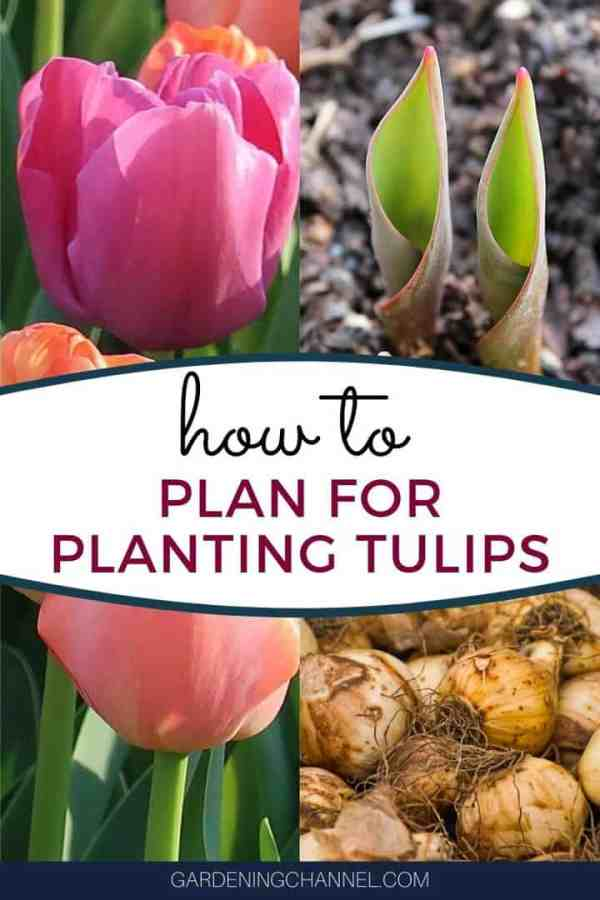 pink tulips spring blooming tulip bulbs with text overlay how to plan for planting tulips