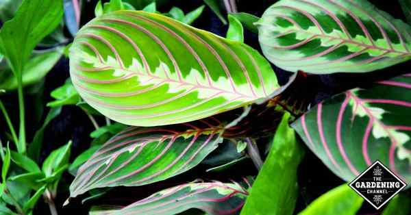 growing guide prayer plant